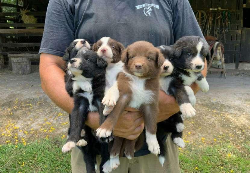 Cachorros border collie macho y hembra plan sanitario al día - 2