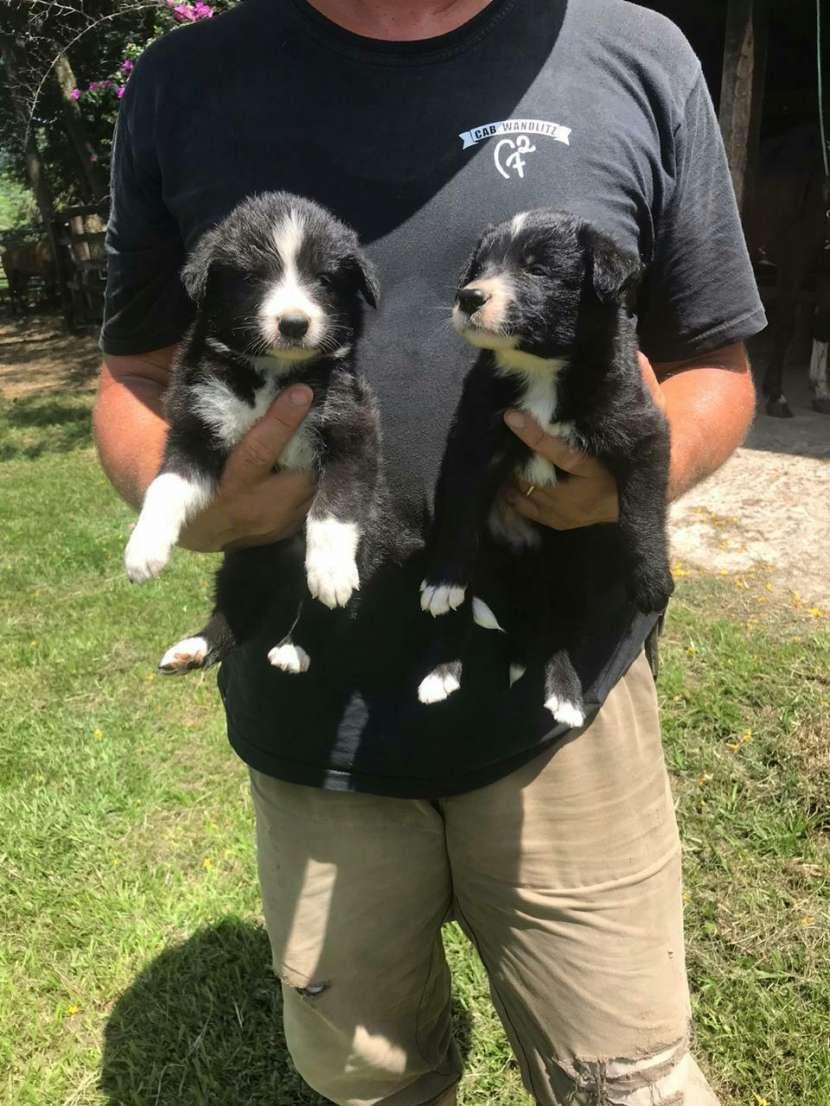 Cachorros border collie macho y hembra plan sanitario al día - 3
