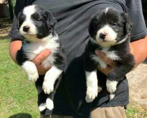 Cachorros border collie macho y hembra plan sanitario al día