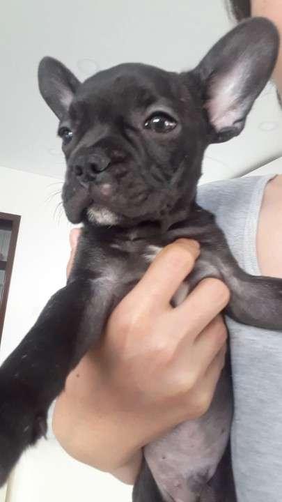 Cachorros bulldog frances - 3