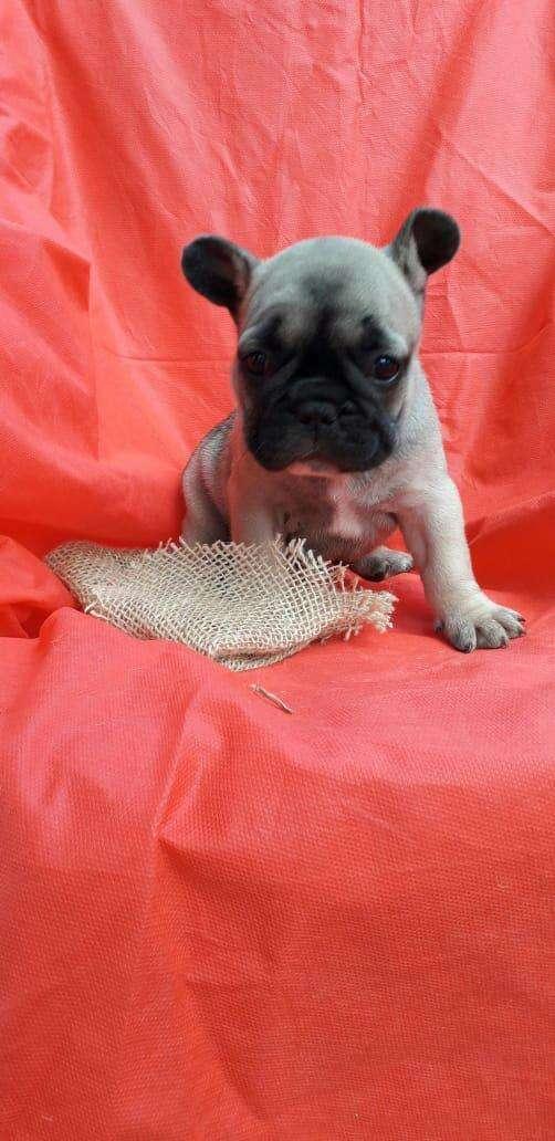 Bull dog francés macho y hembra importado de Brasil - 3