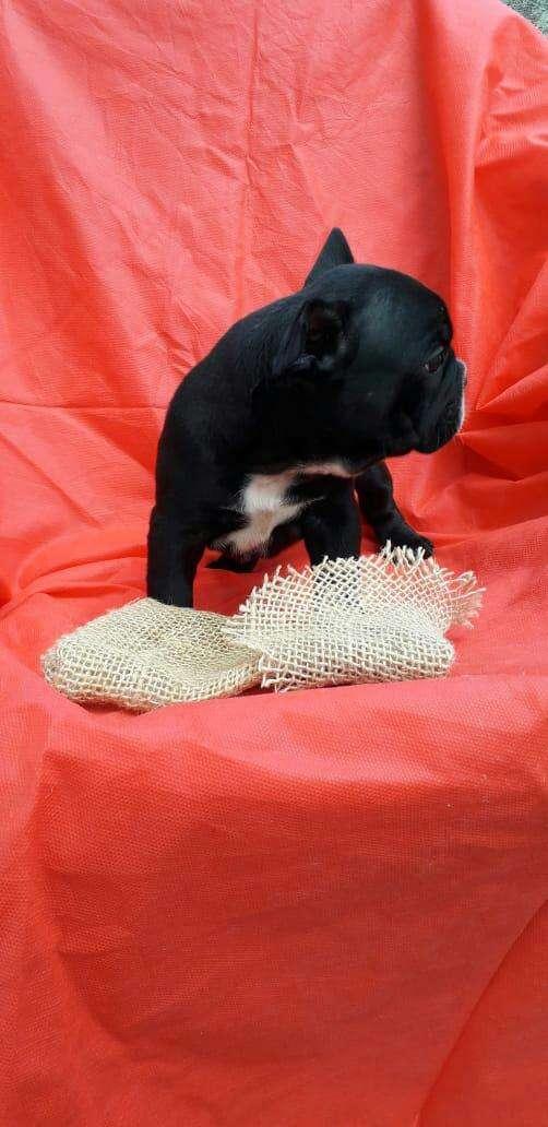 Bull dog francés macho y hembra importado de Brasil - 4