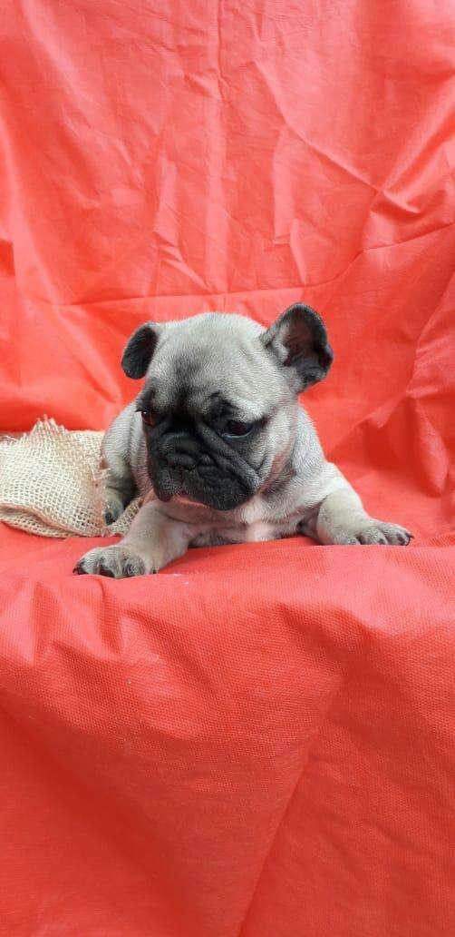 Bull dog francés macho y hembra importado de Brasil - 5