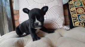 Cachorro Bulldog frances Hembra