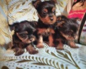Cachorro yorkhire miniatura disponible