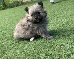Cachorro Mini lulu de Pomerania hembra