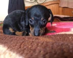 Cachorro teckel vacunados desparasitados