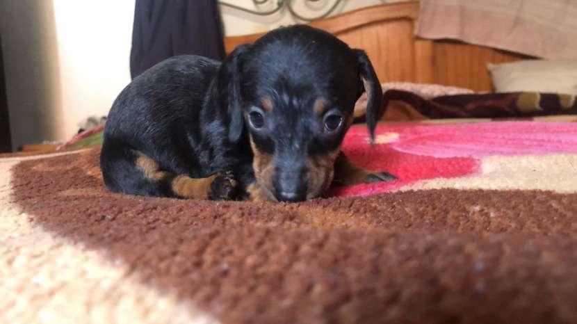 Cachorro teckel vacunados desparasitados - 0