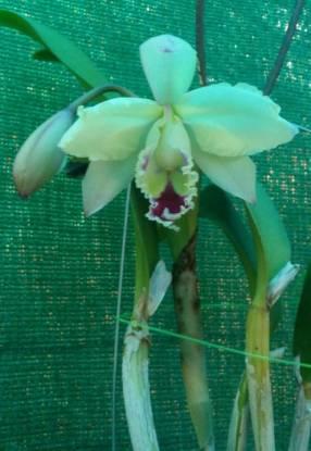 Orquídea