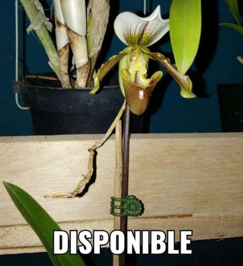 Orquídea zapatito