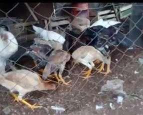 Gallinas y gallos finos el cazal
