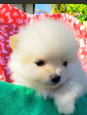 Cachorro Mini Lulu
