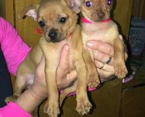 Chihuahuas hembras y macho