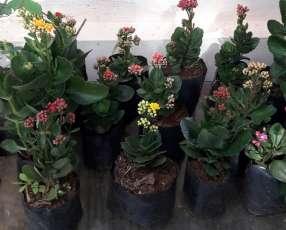 Plantitas de Kalanchoe