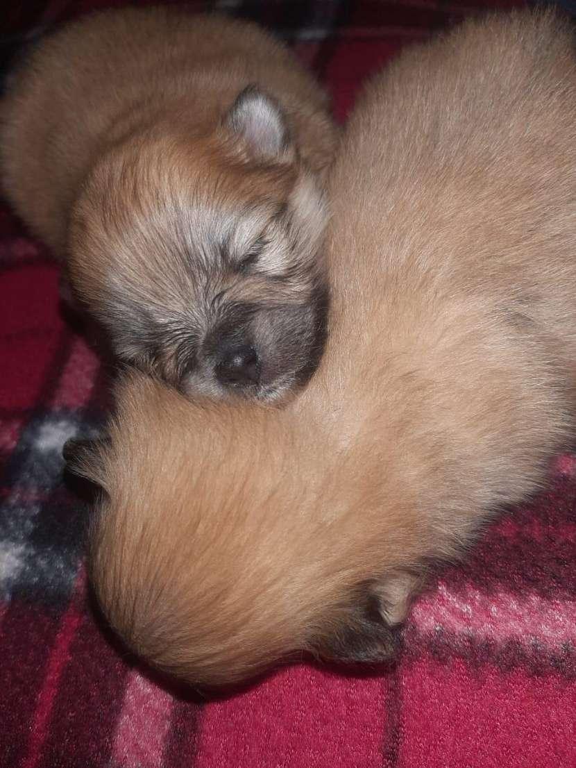 Cachorros mini lulú color rojo - 0