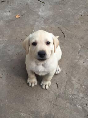 Cachorra Labrador