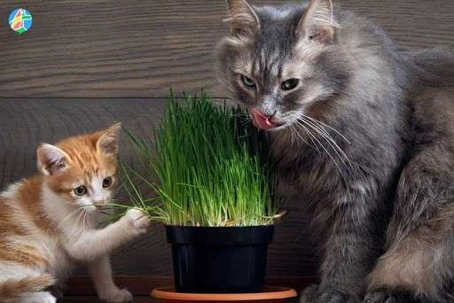 Hierba para gatos - 0