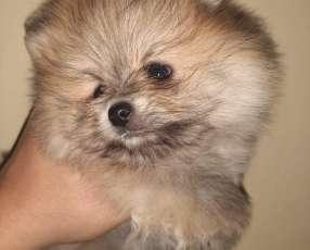 Cachorros Pomerania mini lulu