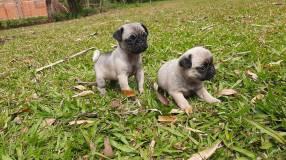 Pug con pedigree hembras