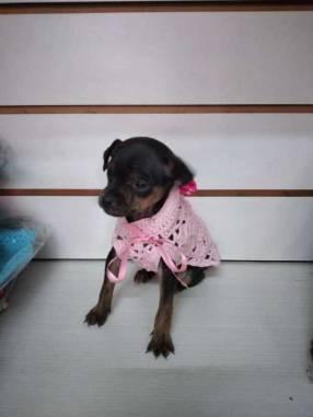 Cachorros pincher cero mini
