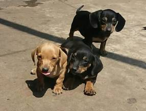 Cachorros salchichas mini