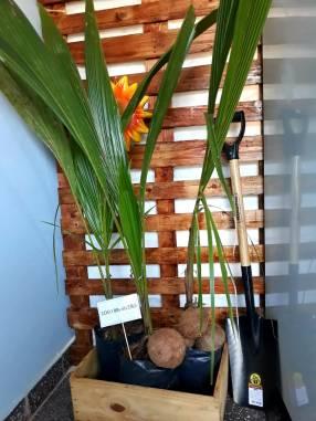 Planta de Coco Brasileño