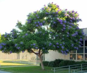Planta de Jacaranda
