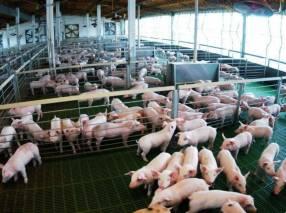 Manual técnico practico cría y engorde del cerdo