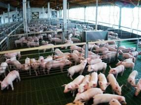 Cría y engorde del cerdo E-Book