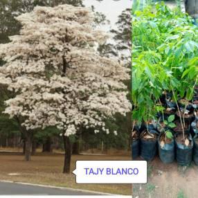 Plantines de Lapacho Blanco Rosado Amarillo