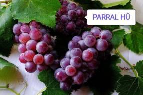 Planta de uva