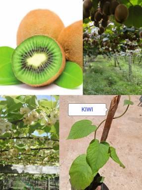 Plantín de kiwi