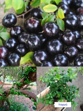 Plantín de Yvapurû