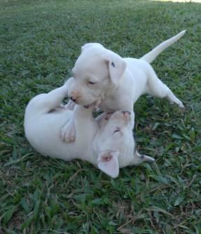 Dogo argentino macho y hembra