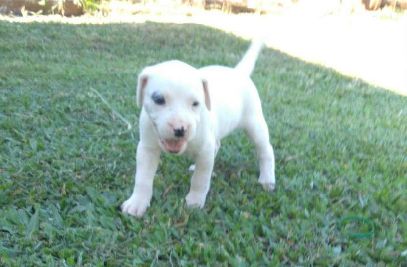 Dogo argentino macho y hembra - 4
