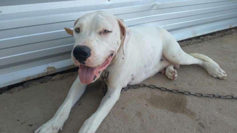 Dogo argentino macho y hembra - 5