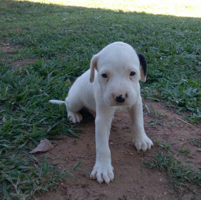Dogo argentino macho y hembra - 6
