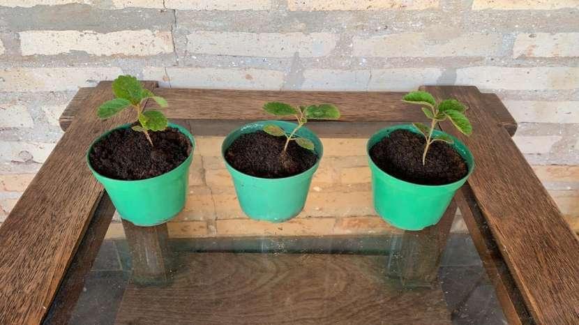 Plantín de tajy amarillo - 1