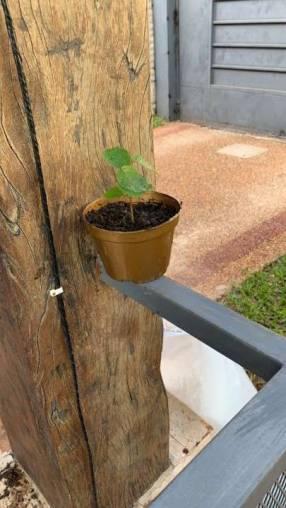 Plantín de tajy amarillo