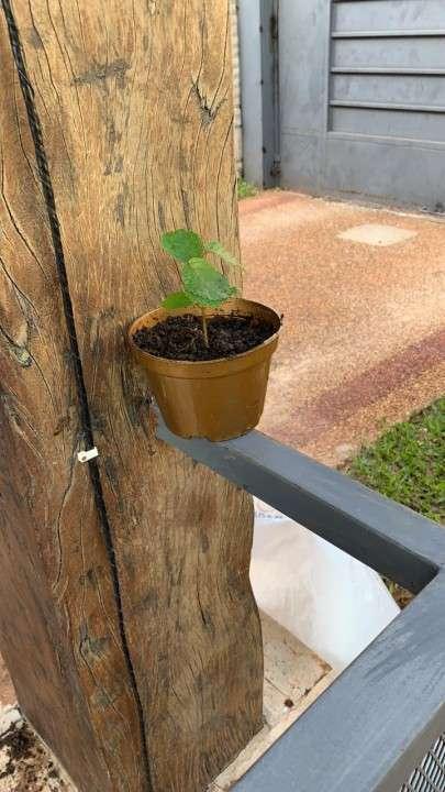 Plantín de tajy amarillo - 0