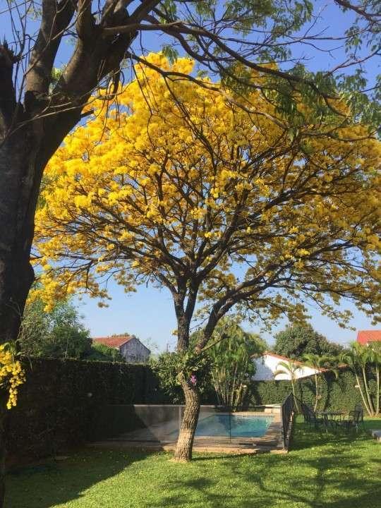Plantín de tajy amarillo - 2