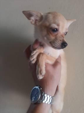 Chihuahua hembra de 5 meses