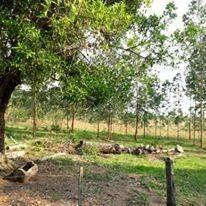 3 hectáreas con plantación de eucalipto en Pirayú COD 3179