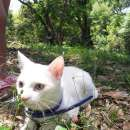 Gato Khao manee - 0