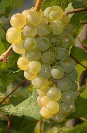 Planta de uva blanca