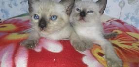 Gatitos Siameses