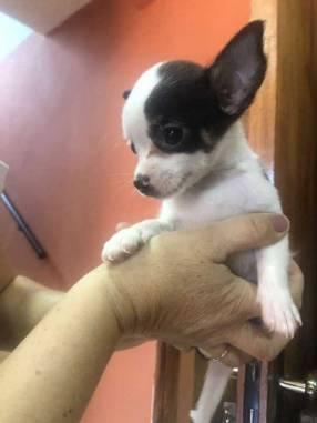 Chihuahua vaquita