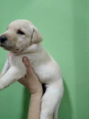 Labradores de buena genética