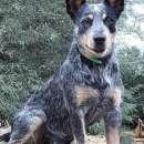 Cachorros Pastor ganadero Australiano - 6