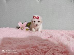 Caniche mini toy hembra